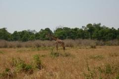 Kenia massai mara